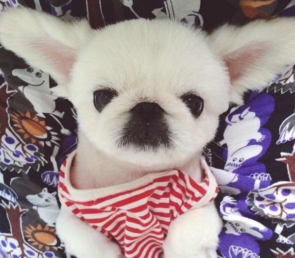 主人原本以為自己養得只是貴賓狗,但當狗狗把耳朵豎起來時她才發現自己養的是「兔子的後裔」!
