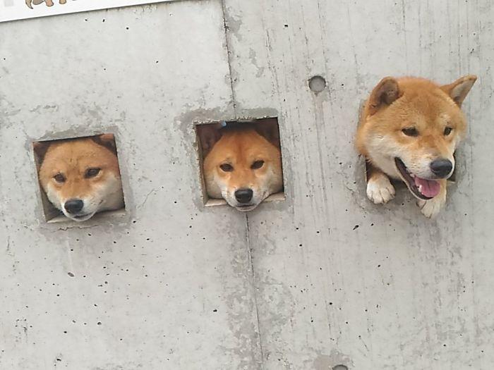 網友遠遠看到路邊有傻萌3柴「擠出牆洞」,走近看「旁邊的告示」才知道他們誤以為自己是地鼠很久了!