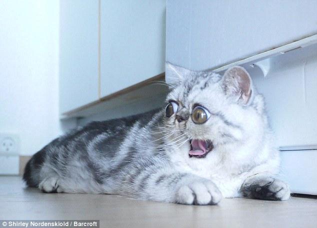 這隻貓咪全天候都是「 OMG表情」連睡覺也不闔眼,主人辨認他是不是在睡覺的方法真的太可愛了!