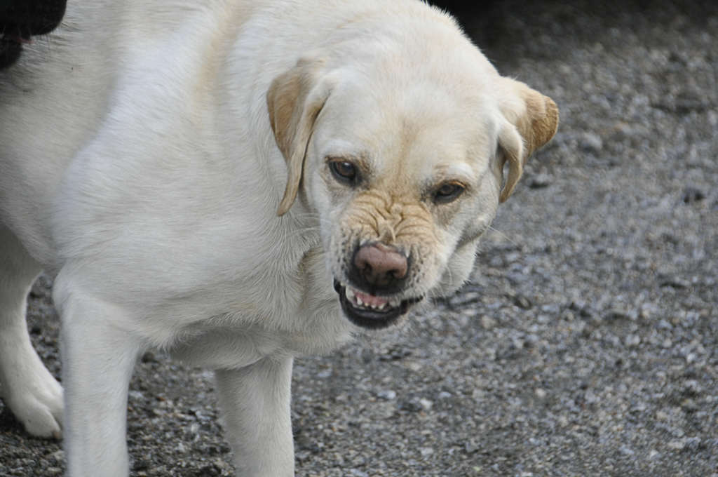 哪一種狗狗最具攻擊性?真正的答案會徹底顛覆一直以來你對狗狗的看法!(提示:看起來最乖的!)