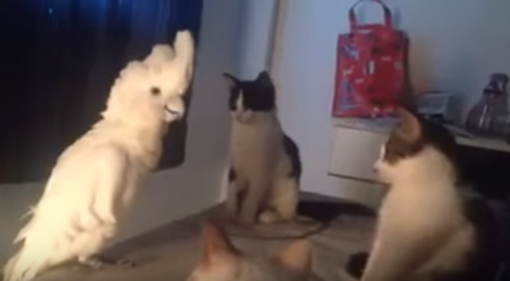主人暗中發現這隻鸚鵡已經學會「喵星人語言」已經得到3隻貓咪的控制權!全過程已經被拍下來了!