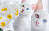 這對雙胞胎絕對是喵星上的兩大終極大美女,她們平時睡覺的超萌模樣讓人相信她們就是「貓星上的雙胞胎公主」!