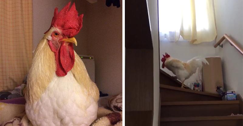 賴床的兒子怎麼叫都叫不醒,無奈的媽媽只好買了一隻「雞兒子鬧鐘」讓兒子再也不敢賴床了!