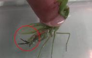 螳螂丟到水裡時尾部竟然冒出「惡夢」。這麼大條妖怪身體裡怎麼容納的?!
