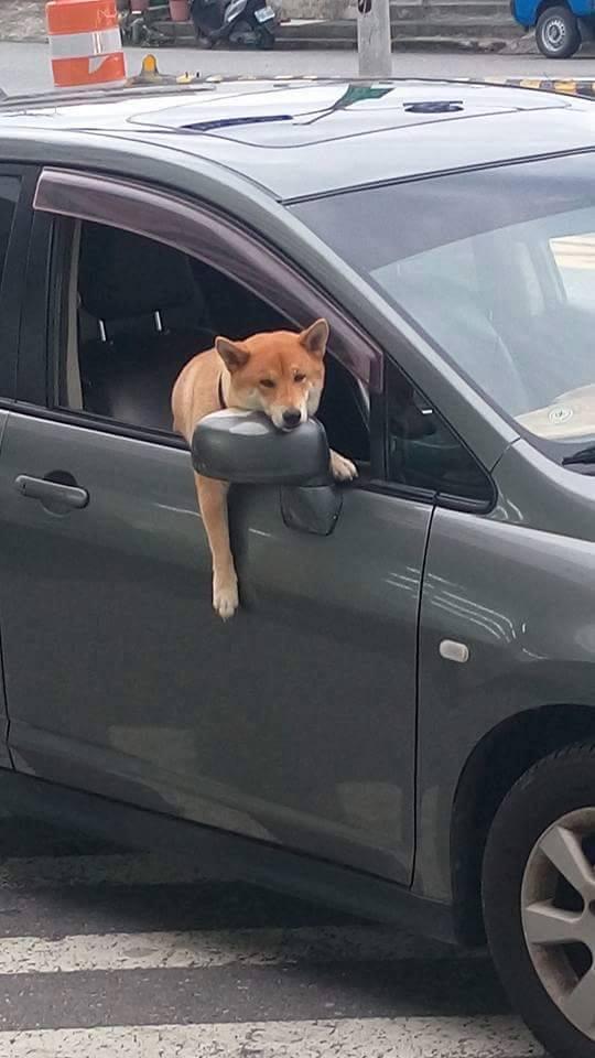 主人留下他一狗看車,表情「無奈到爆」的超萌小黃狗讓萬名網友都為他著急了!