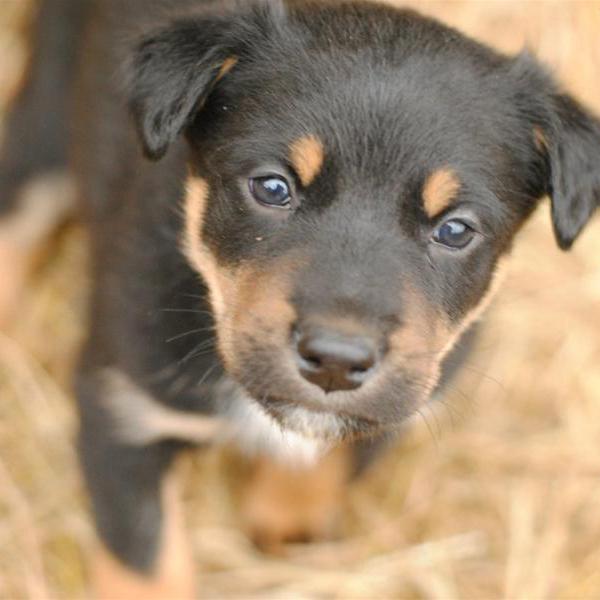 二戰時被炸傷腿幼犬被軍醫說「沒軍隊編號我不救」,數週後全基地的人都欠了他好幾條命!