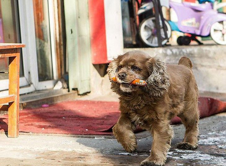 能分辨鈔票金額的狗狗不要零食卻「每天都和主人討零用錢」,每次從商店「買不同的零嘴」萌到我笑炸了!