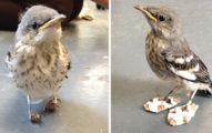 受傷小鳥站不起來,因此他們就給他穿上了這雙超可愛的「雪橇」!