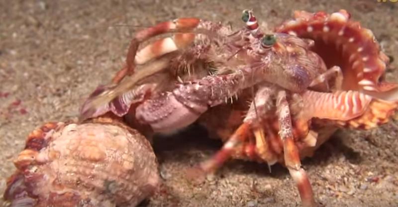 不要以為「寄居蟹換殼」只是跳進另一個殼就完事了,看看「牠們」把舊家上的保鏢都帶走!