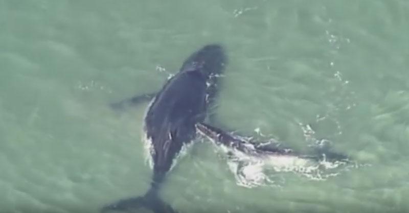鯨魚媽媽不小心游到水太淺的區域,鯨魚寶寶拼命救援影片超感人!
