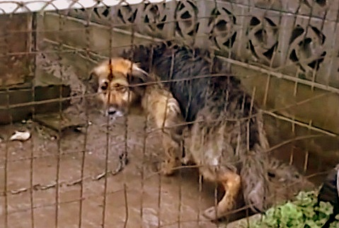 狗狗被主人「用鐵鍊囚禁10年」眼神憂傷身體都快無法動了,第一次被人類撫摸的反應令人噴淚...