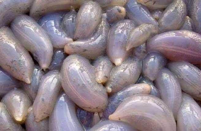 馬來西亞的海邊出現「大量噁心不明生物」擱淺,營養超高但只能「這樣」吃。