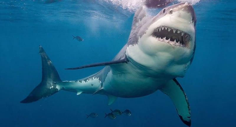 為什麼水族館裡「都看不到大白鯊」?水族館直言:我們實在無法