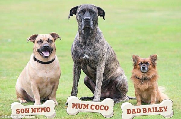 「小隻博美猛男追到大隻獒犬生下孩子」 小狗一開口證明了媽媽絕對沒外遇