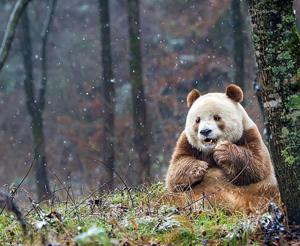 這隻爆萌的熊貓叫七仔,他是世界上唯一的「白咖啡大熊貓」喔!數量要開始增加了!