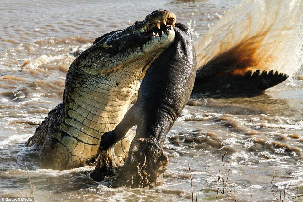 鱷魚趁河馬媽媽不在咬死小孩,媽媽回來看到這一幕當場爆氣上演「河馬 vs. 鱷魚」終極報復!