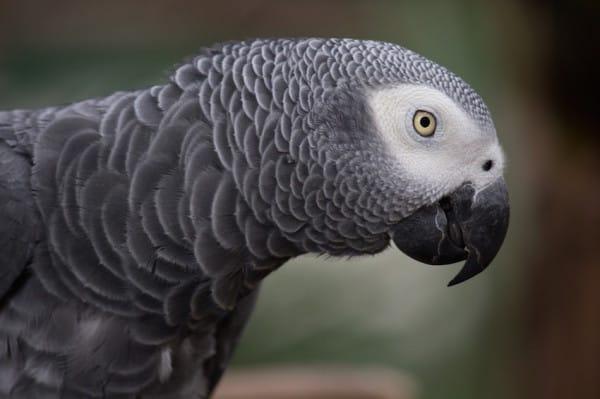 人妻發現家中鸚鵡最近常發出怪怪叫聲,仔細一聽才發現老公在劈腿!