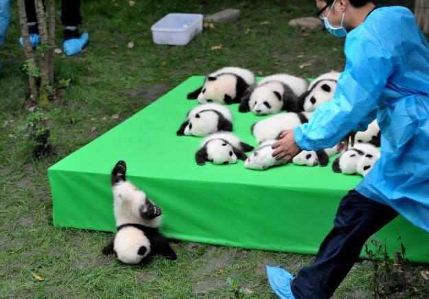 23隻超萌熊貓寶寶參與活動,但其中一隻想逃跑卻「倒栽蔥」萌到讓人知道為什麼熊貓差點絕種!