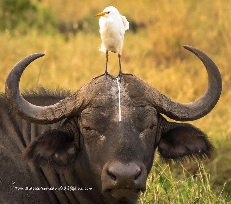 40張會讓你不小心笑出來的「2016年爆笑動物攝影獎」參賽照片!