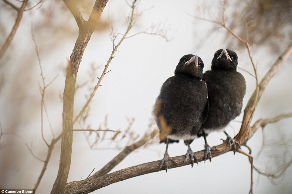In October this year, two baby magpies were adopted into the fold. Puffin and Panda were blown out of their nest during windy weather, close to where Penguin was found in 2013