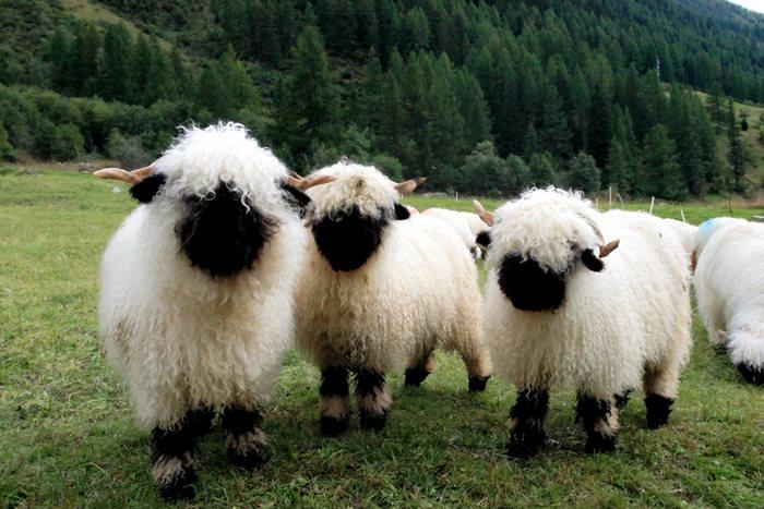 29張讓人不知道該判定是「恐怖還是可愛」的超萌黑鼻羊照片!