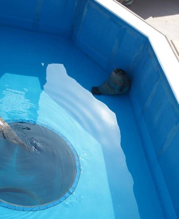 日本「超療癒饅頭小海豹」被拍到偷打瞌睡瞬間爆紅,眼尖網友驚呼偷睡姿勢太可愛「跟電車睡著阿伯超像」!