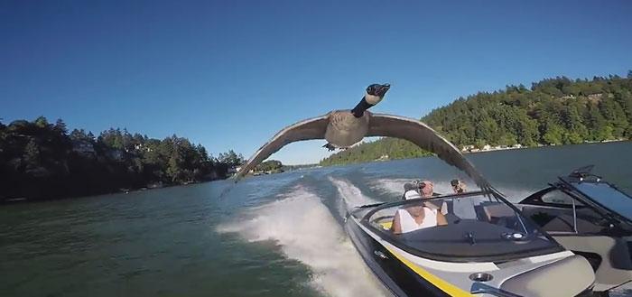 2年前差點淹死小鵝被男子救起「不肯被放生從此跟他到天涯海角」,長大後還擺出「女友姿態」不讓其他女生靠近!