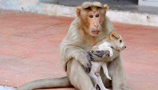 「猴媽媽肚子餓都會先讓狗孩子吃」紅遍全網路,但他們後來下場居然這麼可憐...