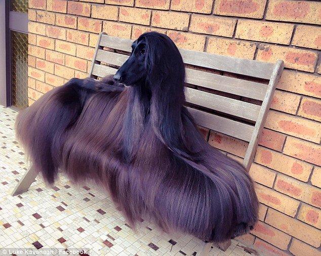 「世界上最美的狗」,看過的人都說:「她已經美到無法待在家中」