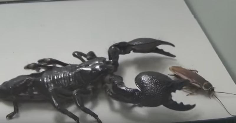 這場蟑螂大戰「帝王蠍」,這既暴力又完全一面倒的狀況讓人有點同情蟑螂...