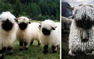 29張讓人不知道該判定他們是「恐怖還是可愛」的超萌黑鼻羊照片!
