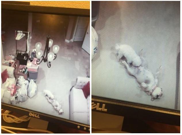 她回家看監視器被嚇壞!2隻愛犬居然趁她不在家「超色情」享受到炸!網友:「還會換地方...」