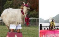 蘇格蘭靈羊預測「希拉蕊會在美國大選中勝出」,但中國靈猴卻跑去「舌吻川普」?