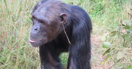 為什麼猩猩會在耳朵上插草?科學家:這是一種時尚