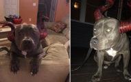 比特犬在萬聖節扮惡魔模樣迎接小孩「卻沒人敢摸他」,幾小時後拍下狗狗「可憐表情」讓全網路都哭泣了...