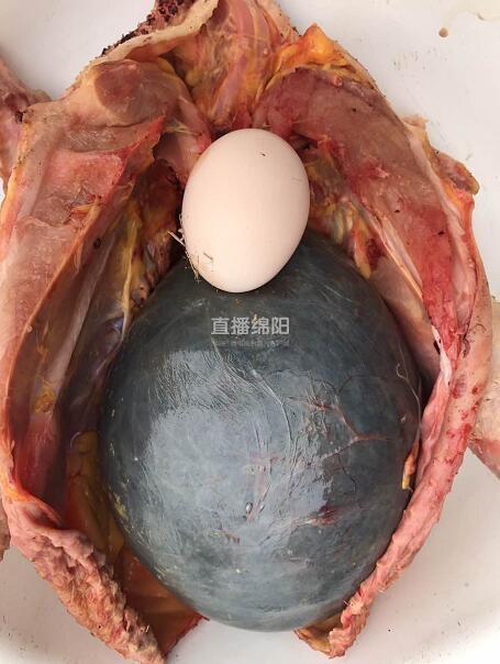 女子把家裡3年老母雞殺了想熬湯,驚見腹內「黑色巨球」完全嚇傻!