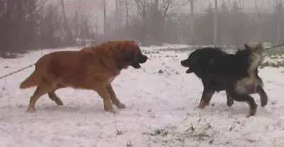 他是「世界上最大的狗」不到5分鐘就KO兇猛藏獒,小時候萌到認不出來!