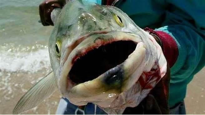 日本恐怖輻射製造出「恐怖核災鮭魚」全是白色增生組織跟腫瘤,容易引發這3種癌症!