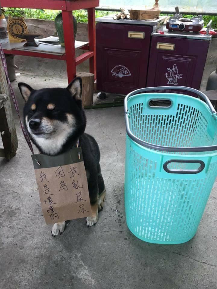 在衣服上亂尿尿,超萌壞壞狗被「罰坐」,網友表示:「看眼神再犯機率極高!」