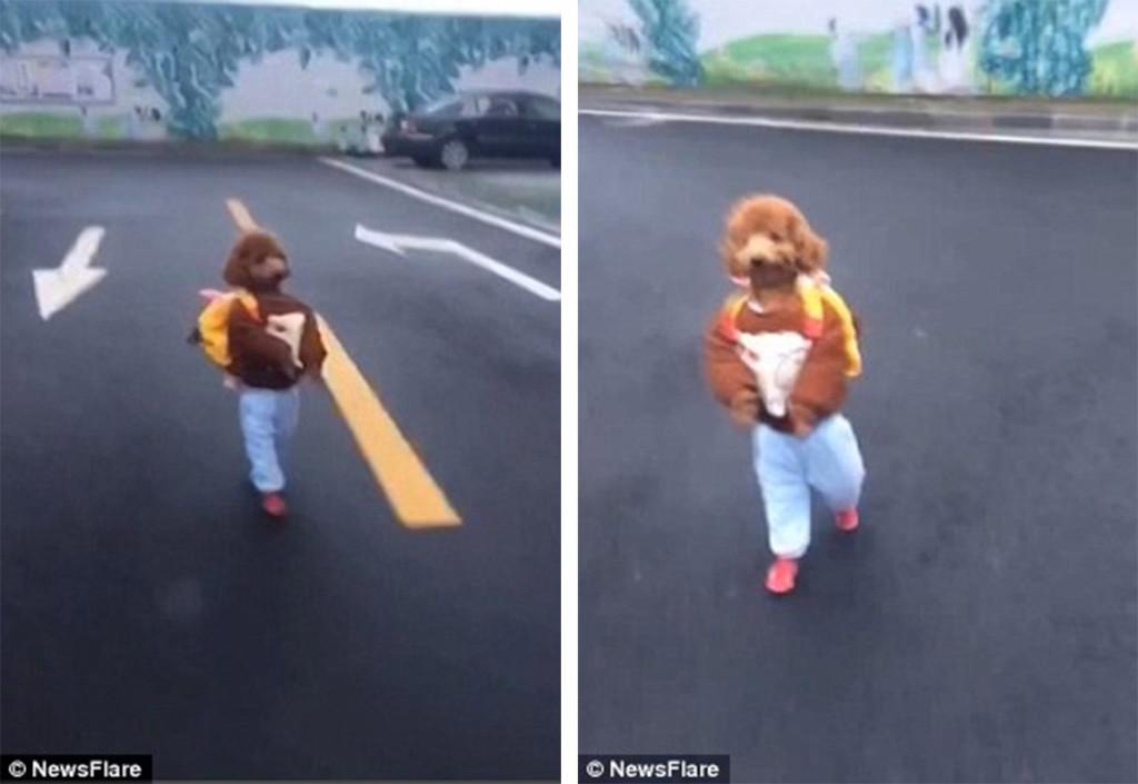 中國拍到這隻超萌紅貴賓「自己背小包包上學」。走路跟人類一模一樣萌翻路人!(影片)