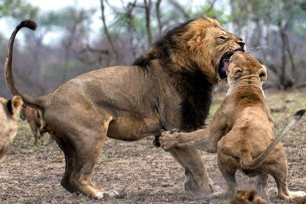 獅子叔叔企圖誘拐小獅被媽媽撞見,當場衝上去爆打到公獅「雄風」嚴重毀損!