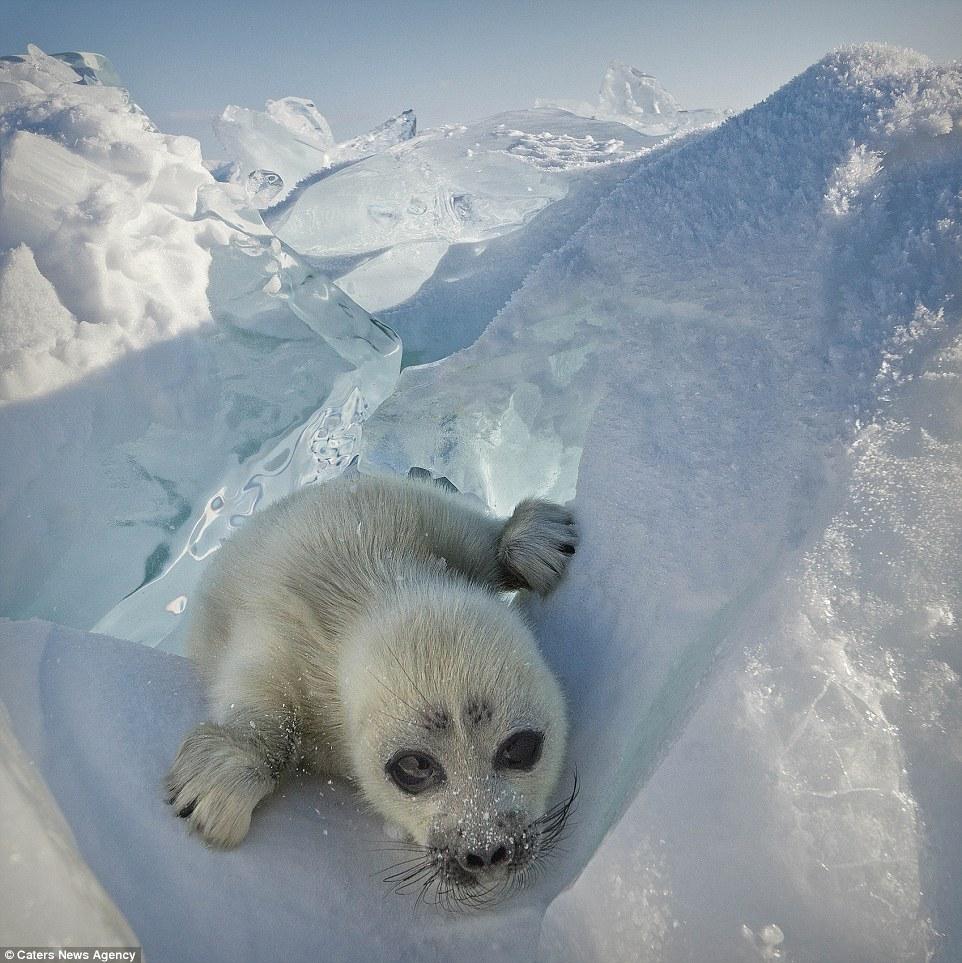 攝影師趴在冰上3年 「海豹寶寶」終於揮手說Hi...萌到都要哭了!