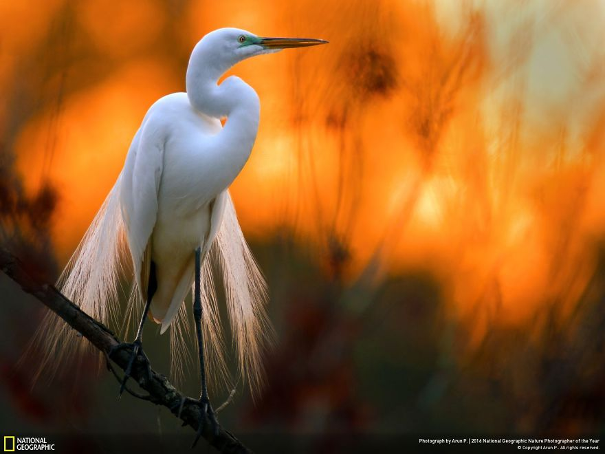 Great Egret Against The Setting Sun
