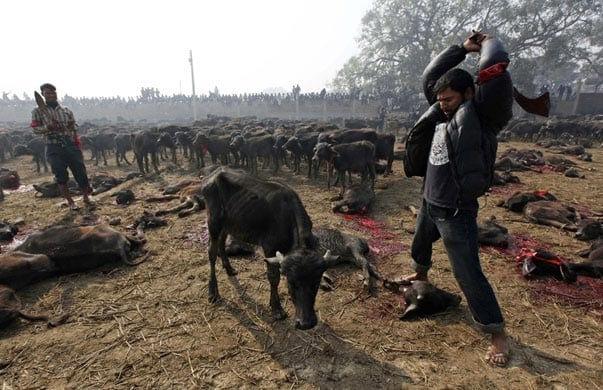 47503UNILAD imageoptim Nepal animal cruelty 2 Vegans And Vegetarians Actually Help Kill Animals, Heres How