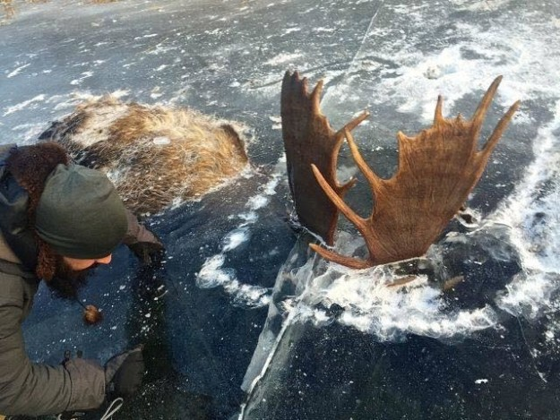 Two hikers in Alaska came across two bull moose earlier this month frozen in ice while locked in mortal combat.