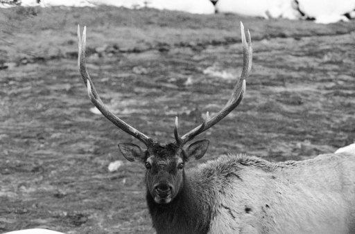 這名獵人被自己剛獵殺完的「100%死去的麋鹿」狠狠報仇,鹿角「刺穿」身體...