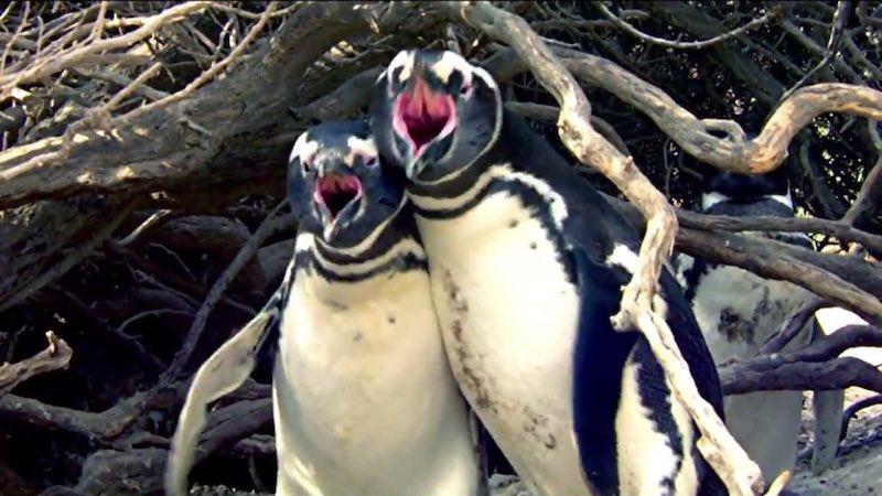 回家發現戴綠帽的企鵝老公,理智線斷掉衝上前「與小三爆血互毆」...