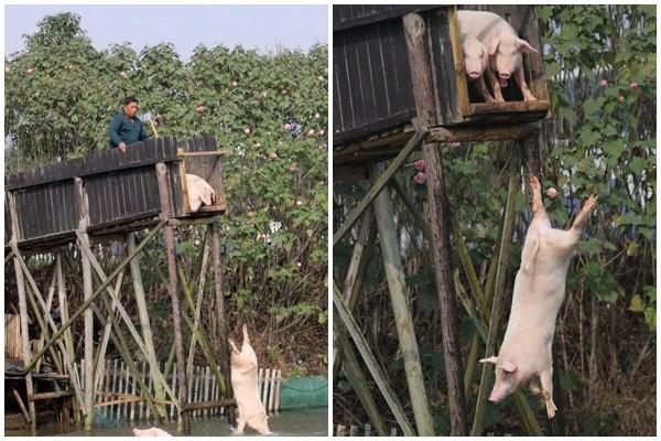 他每天逼這些豬「自殺」,跳越多越有價值!