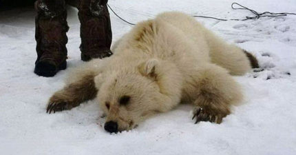 獵人在加拿大獵到一隻「不太一樣的北極熊」,動物學家一看就發現人類真的快毀掉地球了...