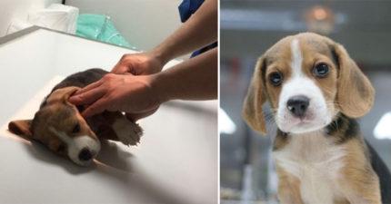 三重區飼主把小狗從5樓陽台丟下去,小狗獲救後查出「血液很特別」可以幫助人類!